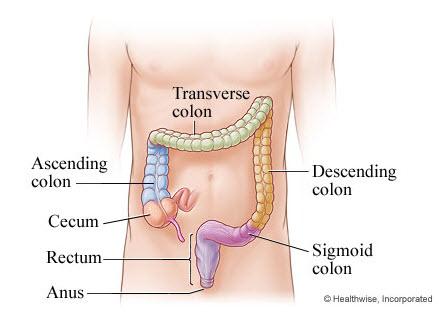 Human Large Intestine